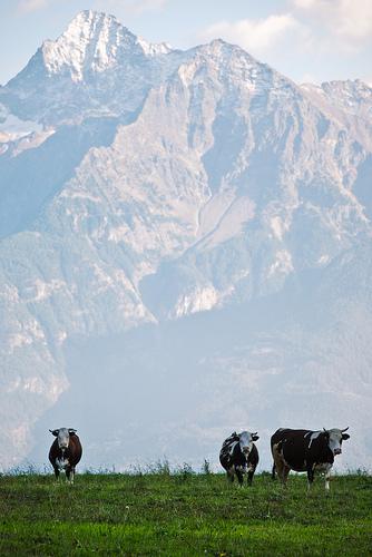 Mucche ad Excenex (foto Daniele Sartori - da Flickr)